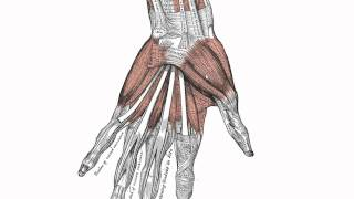 Download Muscles of the Hand - Anatomy Tutorial Video