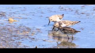 Download World Migratory Bird Day 2016 - Video Contest Winner Video