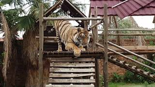 Download Watch the Tigers reaction as they are getting new toys ! Video