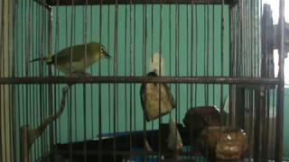 Download Pleci Ngerol + Ngalas Mantap Video