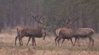 Download Zwarte Veld, Nat Park de Hoge Veluwe movie Video