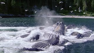 Download Whales' Bubble Net Fishing | Nature's Great Events | BBC Earth Video
