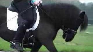 Download Dressuur Shetlander tussen de paarden Video