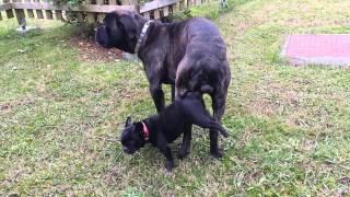 Download cane corso monta a perrita bulldog frances Video
