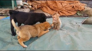 Download Cute Gestures Of Baby Monkey Playing With Father And Two Puppy Video