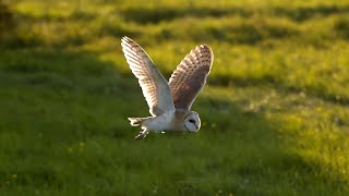 Download Barn Owl vs Peregrine Falcon vs Greylag Goose - Super Powered Owls - BBC Video