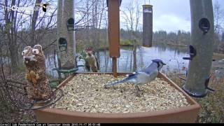 Download Species Diversity On The Cornell Lab FeederWatch Cam - Nov 17, 2016 Video
