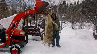 Download HUGE COYOTE or the coyote /wolf hybrid Video