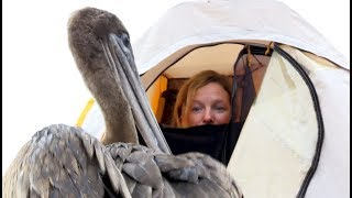 Download Pelican Invades Director's Tent On The Galápagos Islands - Blue Planet II Behind The Scenes Video