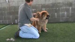Download Cody - Red Chow Chow Obedience Trained and for real Chow lovers needs home Video