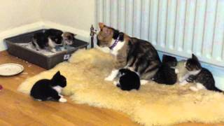 Download Cat rejects her 4 weeks old kittens Video