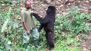 Download Senkwekwe Center, Rumangabo, Virunga National Park, DR Congo. Video