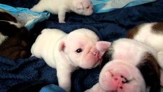 Download Bulldog puppies walking Video