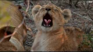 Download The cutest lion yawns you've ever seen! Video