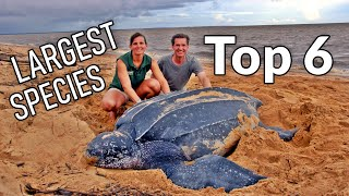 Download Top 6 Largest tortoise and turtle species on Earth Video