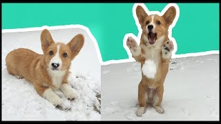 Download Corgi Puppy's First Snow Day! | Vlog Video