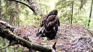 Download Goshawk attacks cause the death of Lesser Spotted Eagle dear Stephi Video
