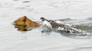 Download Crocodile Attacks a Male Lion - Latest Wildlife Sightings Video