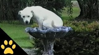Download Labradors Are Awesome: Compilation Video