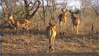 Download African Wildlife HD Part 1 - South Africa Kruger Park 24 - Travel Channel Video