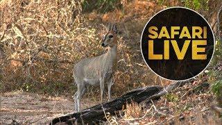Download safariLIVE - Sunset Safari - August 11, 2018 Video