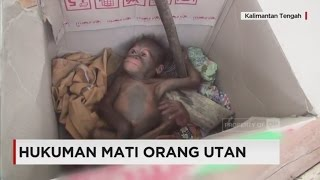 Download Hukuman Mati Orangutan; Nasib Orangutan di Kalimantan Video