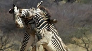 Download Epic Zebra Fight For Mate | Africa | BBC Earth Video