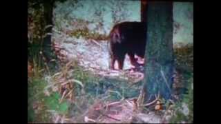 Download Wolverine Vs Black Bear Video