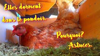Download Vos poules dorment dans le pondoir ? Comment y remédier? Video