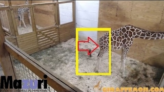 Download Millions Wait For April The Giraffe To Give Birth - Animal Adventure Park Giraffe Cam Video