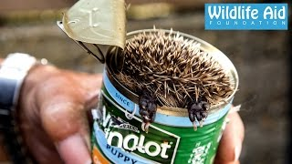 Download Cute baby Hedgehog Stuck in a Can! - Wildlife Rescue Video