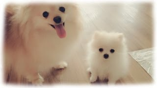 Download Our tiny white micro / teacup pomeranian puppy Video