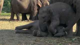 Download Cute baby elephant playing with each other Video