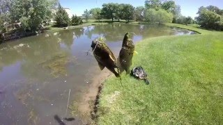Download fly fishing for panfish and bass getting doubles on the hopper droper rig Video