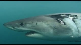Download ► White Shark Outside the Cage (Sky Vision Documentary) Video