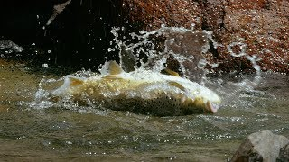Download Huge Trout Eats Mice - Wild New Zealand - BBC Earth Video