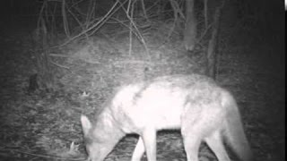 Download Trapping trail cam video Video