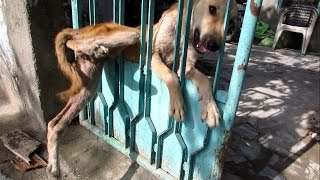Download Desperate for help, trapped dog freed from gate Video