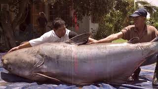 Download 15 Biggest Fish Ever Caught Video