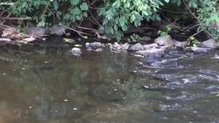 Download Mama Mallard Duck with Ducklings on the Creek at Core Creek Park Video