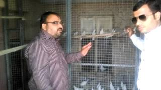 Download Dr prince ludhiyana malwai pigeons by kamal arora Video