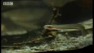 Download Horror story: Candiru: the Toothpick Fish - Weird Nature - BBC animals Video