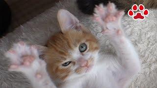 Download 猫部屋生活13日目。やんちゃ坊主になった子猫【瀬戸のまや日記】Maya Thirteenth day at Miaou Cat Room Kitten was naughty Video