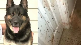 Download Owner Comes Home Sees Blood On His Walls– Then Looks At German Shepherd And Realizes Nasty Truth Video