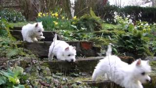 Download Puppy Playtime - Westie pups have fun in the garden Video
