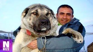 Download 17 Hunde Die Stärker Sind Als Ein Wolf! Video