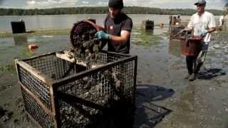 Download Oyster farmers and ocean acidification Video
