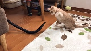 Download 【貴重映像】初めて「シャー」と威嚇する猫  A cat threatens a vacuum cleaner by hissing. Video