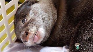 Download カワウソ ビンゴと遊んでたら一瞬だけめっちゃブサイク顔が出た!Otter Bingo enjoying himself in the laundry basket Video