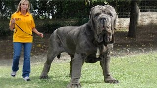 Download Top 10 Biggest Dogs In The World Video